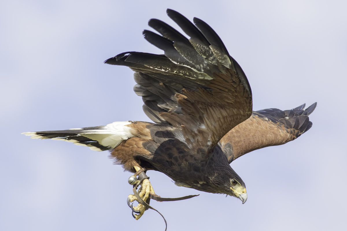 Did You Know: Falconry Bells Are Made from Phosphor Bronze